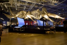 A full-size skeleton of a sperm whale is the showstopper at Whales Tohora